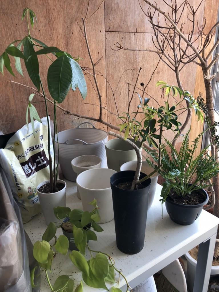 観葉植物 植え替え