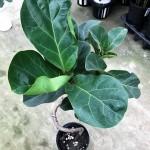 グリーン(観葉植物)は、ミヤモト家具で購入しよう!